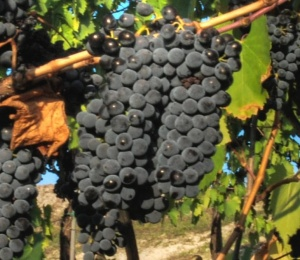 Sangiovese_close_up_crop